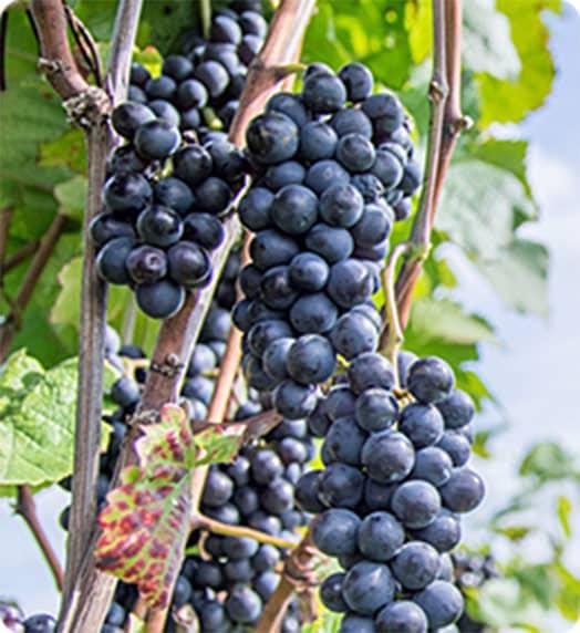 赤葡萄の写真