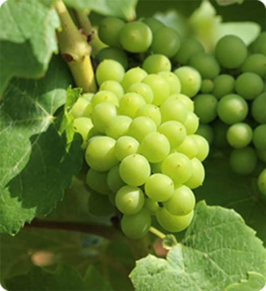 白葡萄の写真